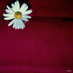 Bawełna ręcznie tkana - karminowe prążki